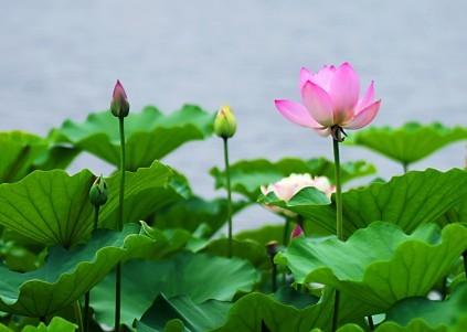 莲花因其洁白高雅,还象征着佛教的教义纯洁高尚.