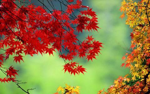 首页    霜降降临,黄栌,枫树,柿树等树叶的化学成分发生了改变,颜色由